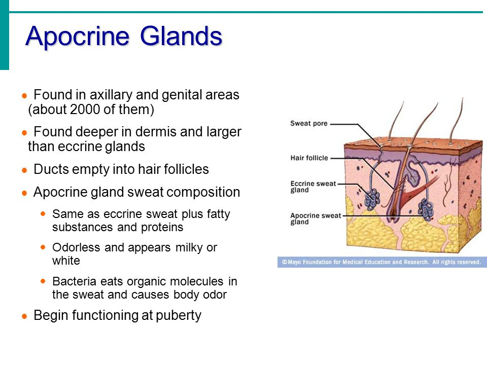 Apocrine Glands Found in axillary and genital areas (about 2000 of them) Found deeper in dermis and larger than eccrine glands.