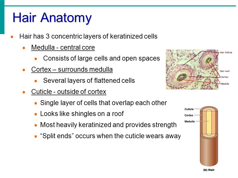 Hair Anatomy Hair has 3 concentric layers of keratinized cells