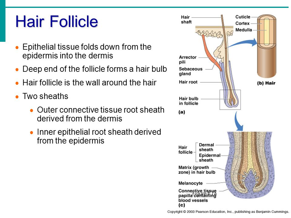 Hair Follicle Epithelial tissue folds down from the epidermis into the dermis. Deep end of the follicle forms a hair bulb.