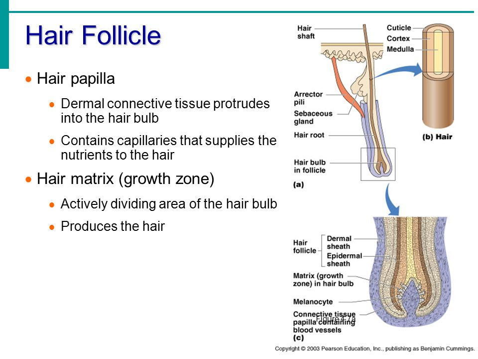 Hair Follicle Hair papilla Hair matrix (growth zone)