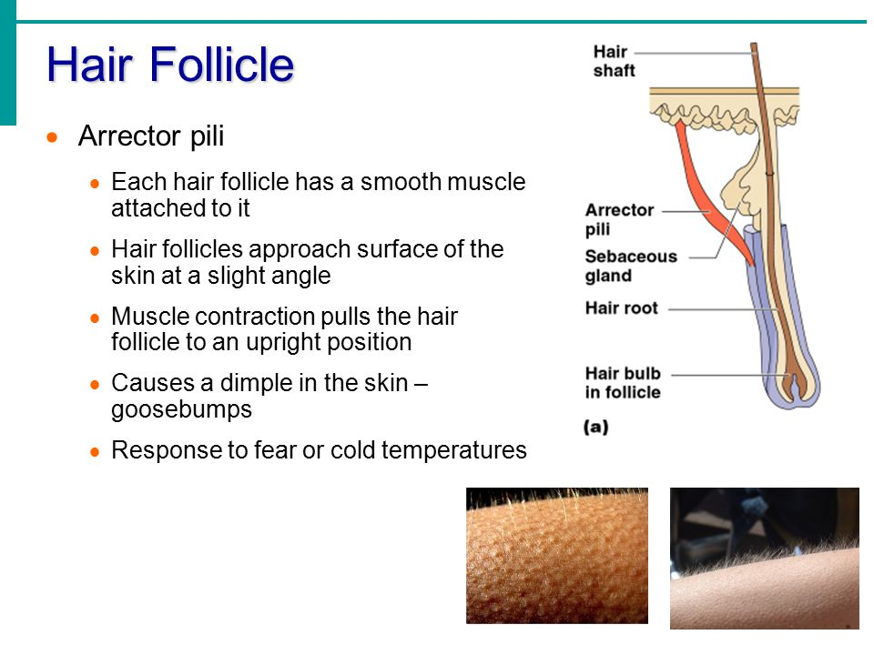 Hair Follicle Arrector pili