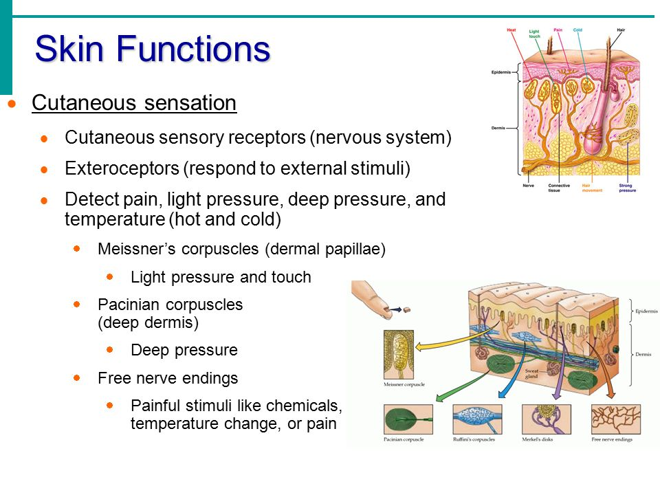 Skin Functions Cutaneous sensation