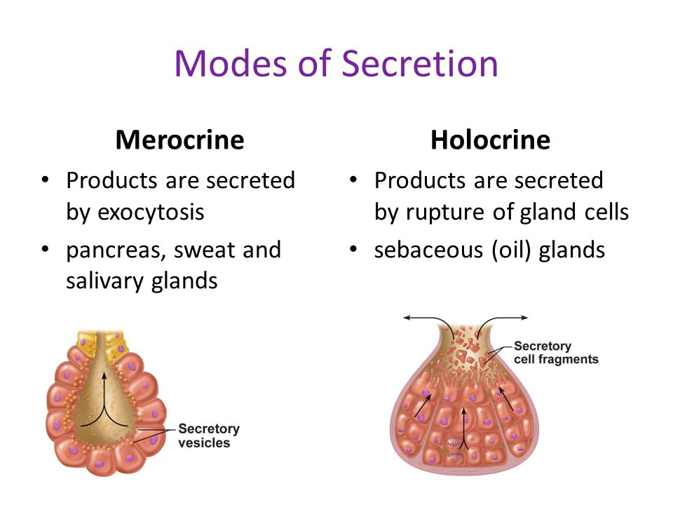 Modes of Secretion Merocrine Holocrine