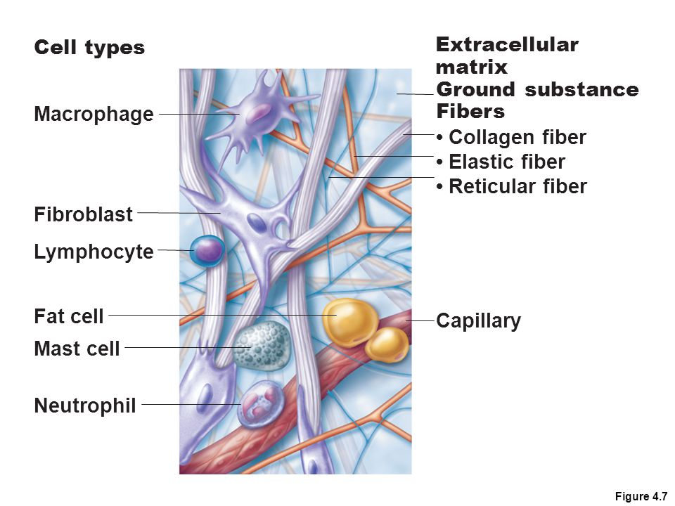 Cell types Extracellular matrix Ground substance Macrophage Fibers