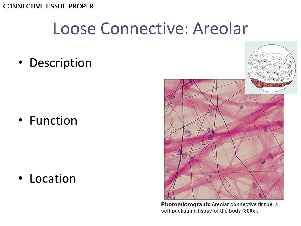 Loose Connective: Areolar