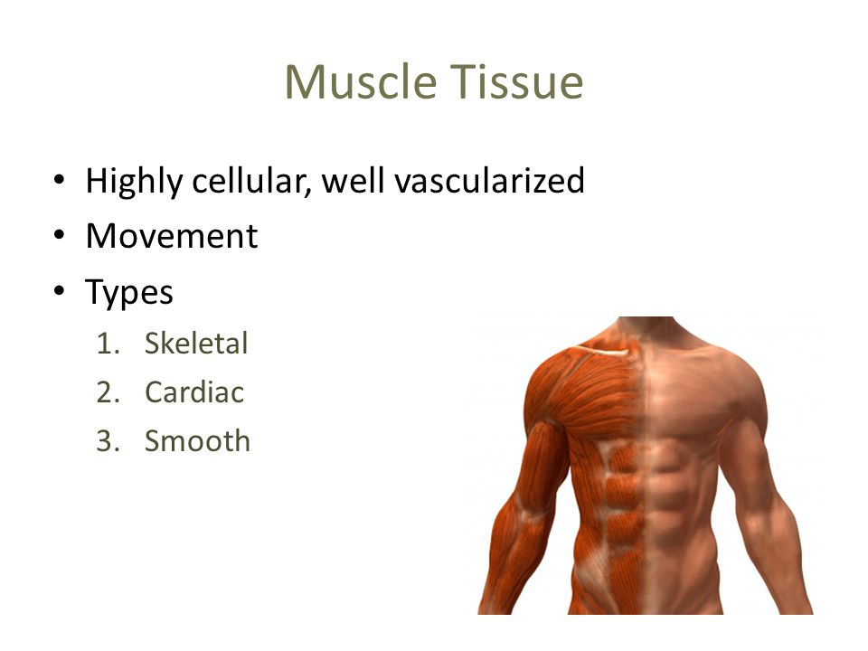 Muscle Tissue Highly cellular, well vascularized Movement Types