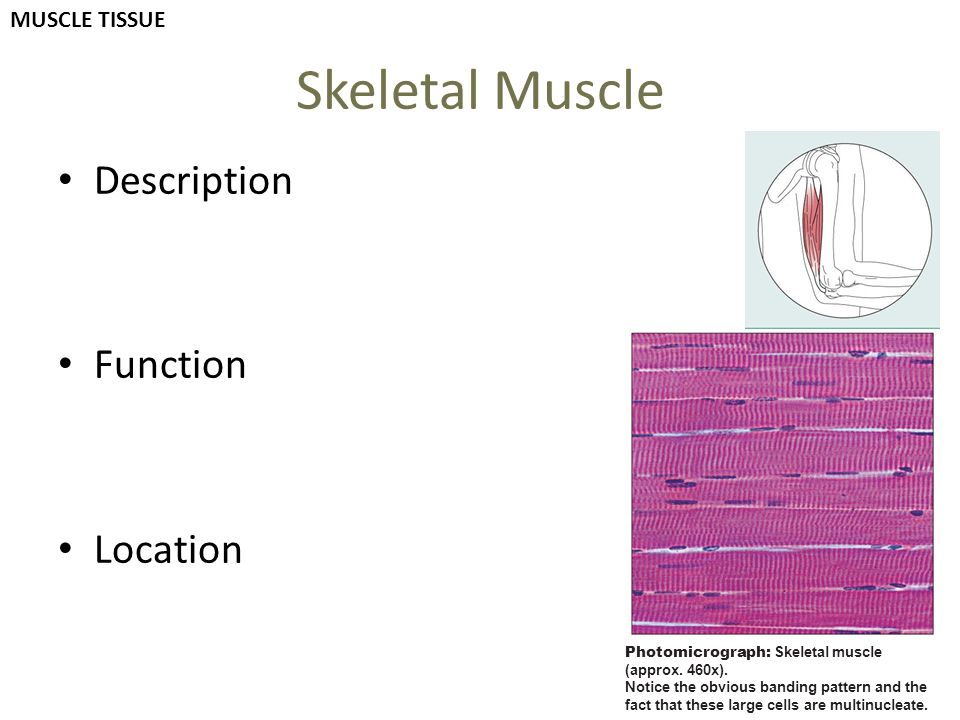 Skeletal Muscle Description Function Location MUSCLE TISSUE