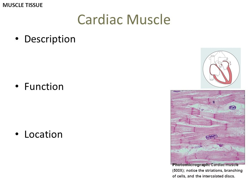 Cardiac Muscle Description Function Location MUSCLE TISSUE
