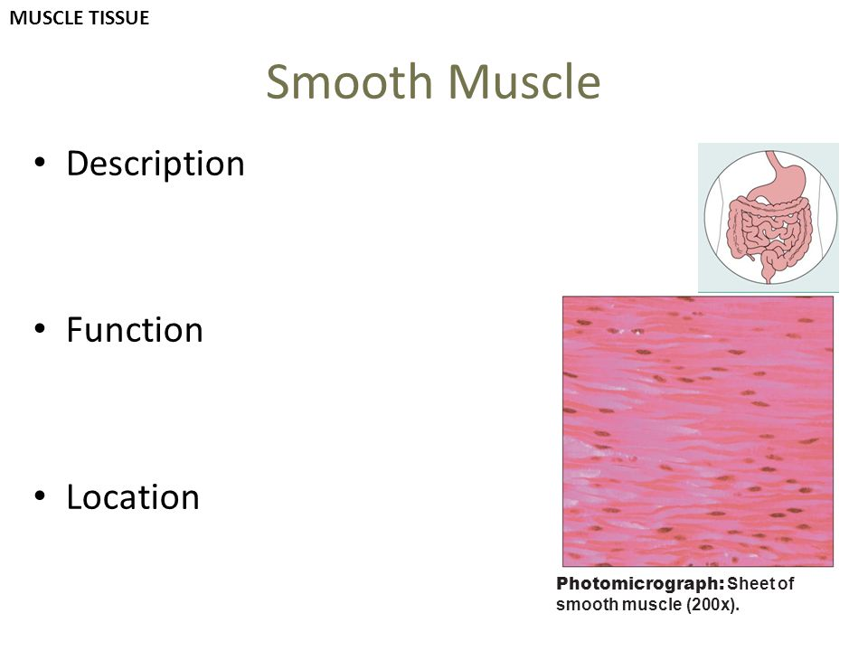Smooth Muscle Description Function Location MUSCLE TISSUE