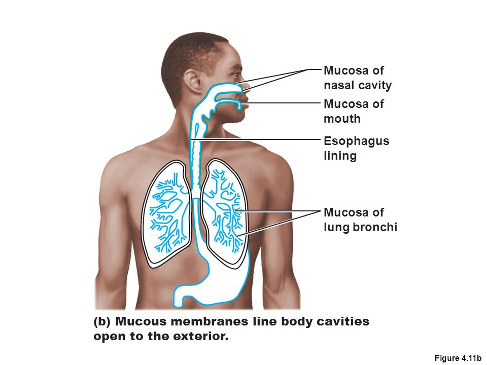 (b) Mucous membranes line body cavities open to the exterior.