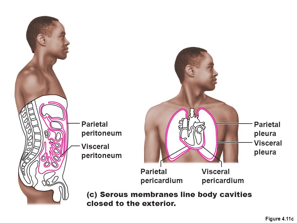(c) Serous membranes line body cavities closed to the exterior.