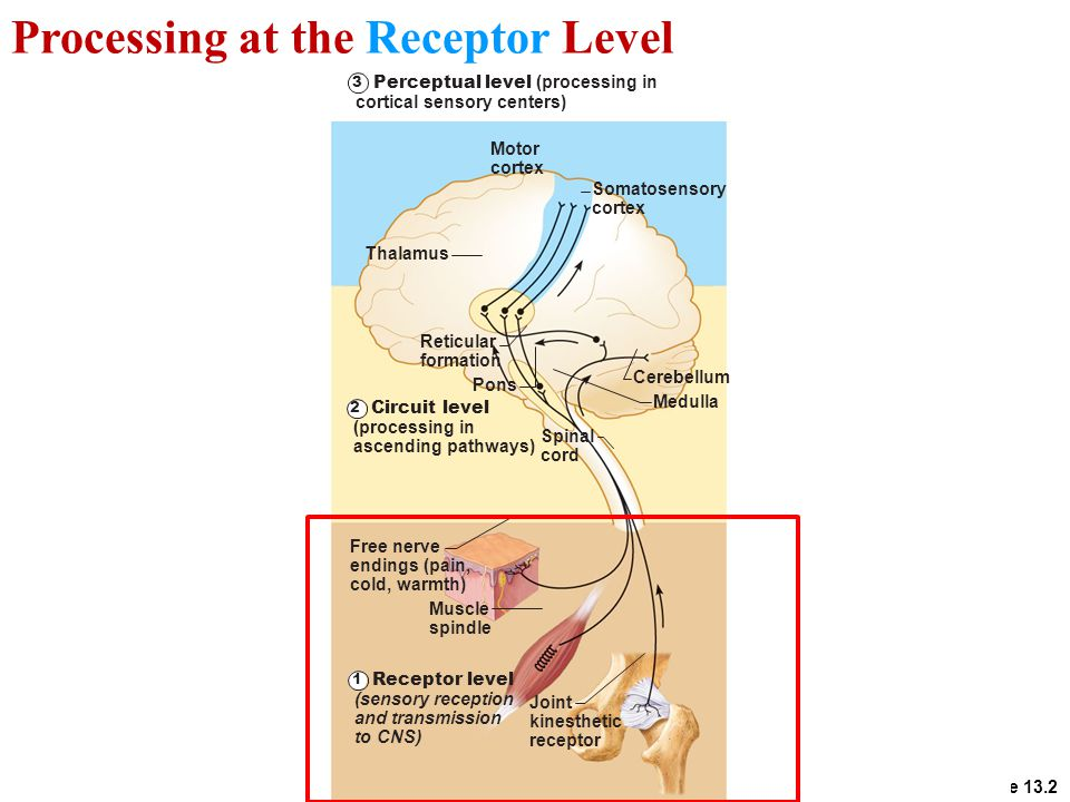 Processing at the Receptor Level