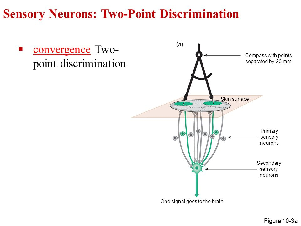 Sensory Neurons: Two-Point Discrimination