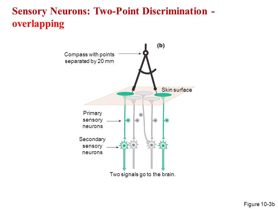 Neural Integration The sensory pathways Chapter ppt video ...