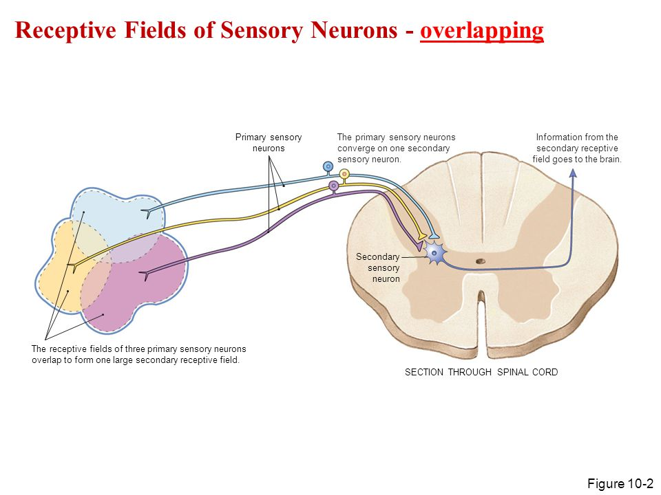 Receptive Fields of Sensory Neurons - overlapping