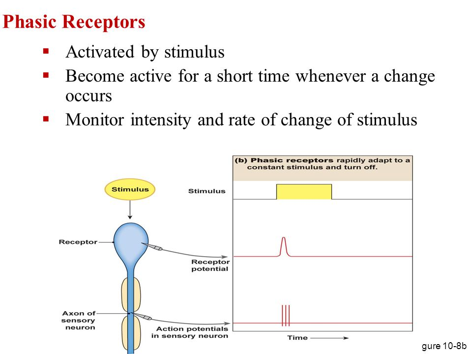 Phasic Receptors Activated by stimulus