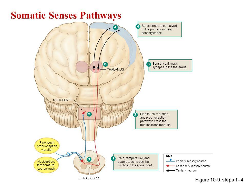 Somatic Senses Pathways