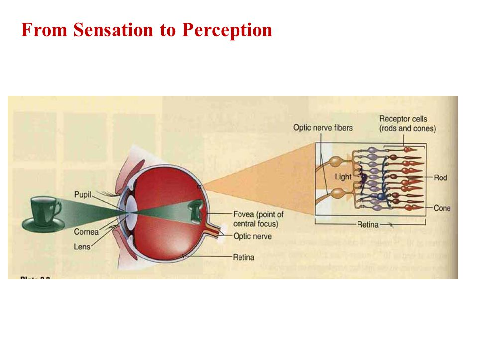 From Sensation to Perception
