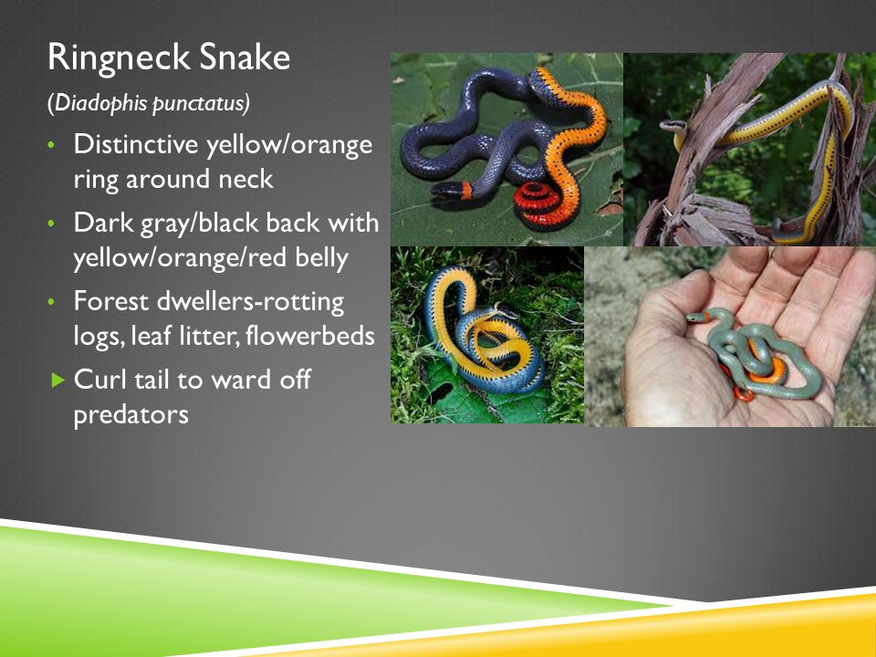 Ringneck Snake Distinctive yellow/orange ring around neck