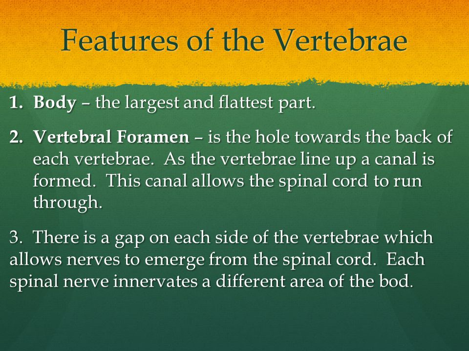 Features of the Vertebrae