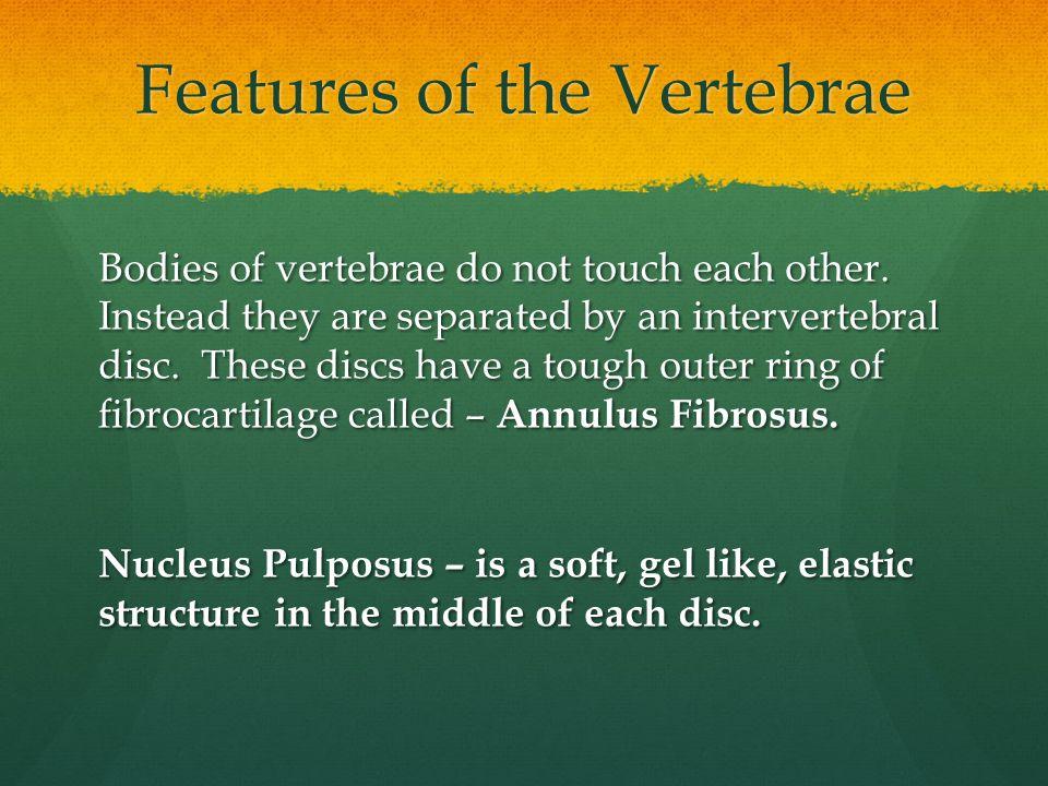 Features of the Vertebrae