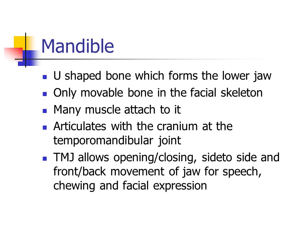Mandible U shaped bone which forms the lower jaw