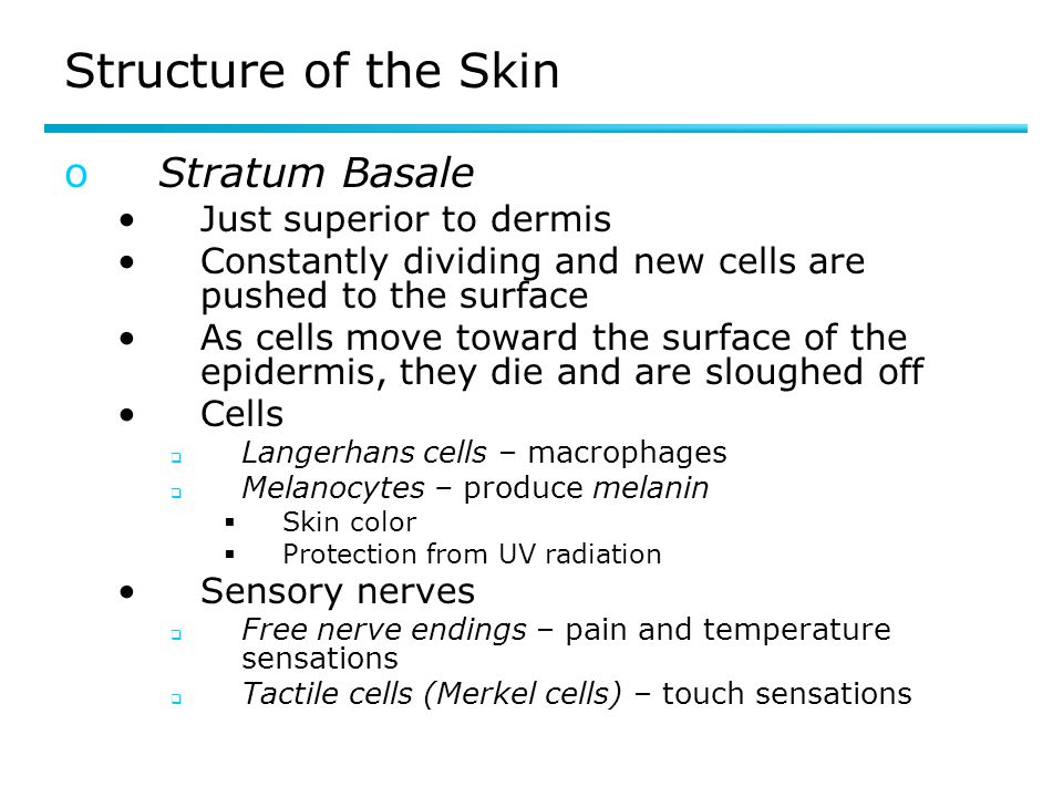 Structure of the Skin Stratum Basale Just superior to dermis
