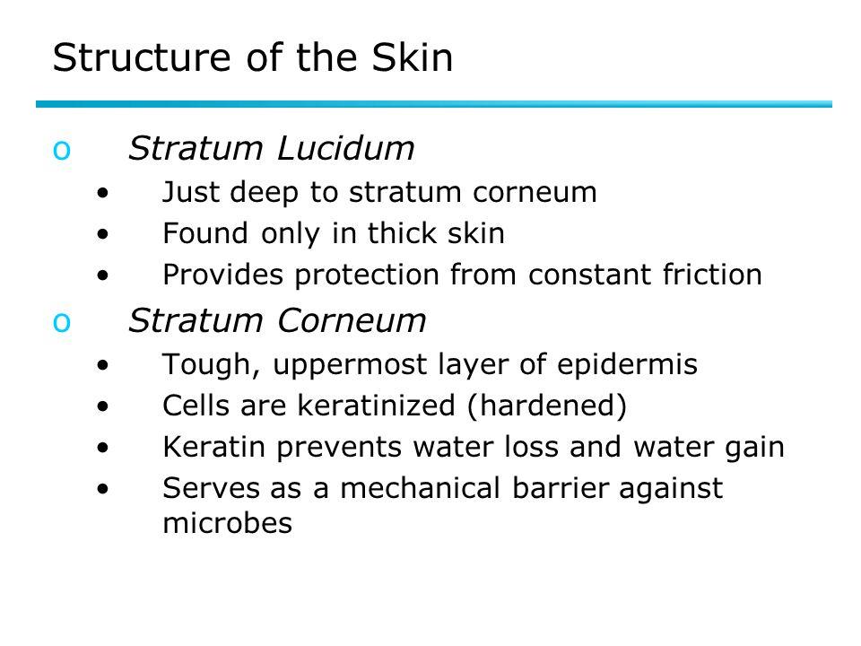 Structure of the Skin Stratum Lucidum Stratum Corneum