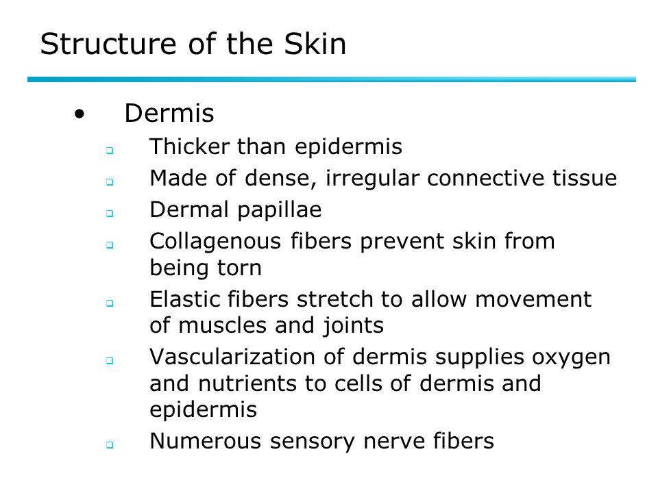 Structure of the Skin Dermis Thicker than epidermis