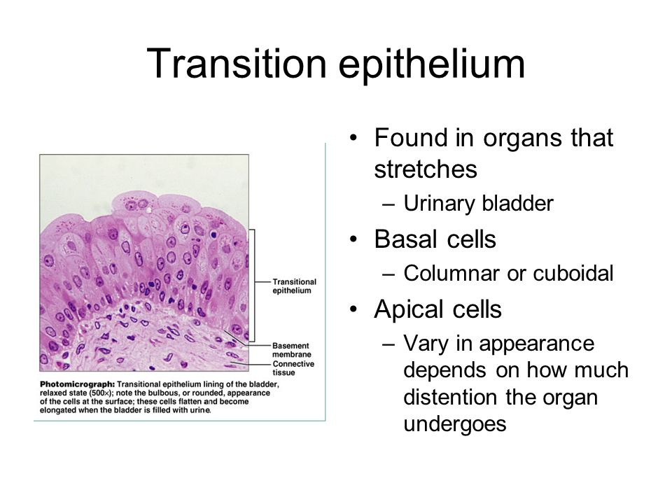 Transition epithelium