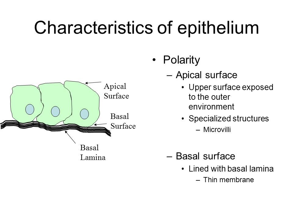 Characteristics of epithelium