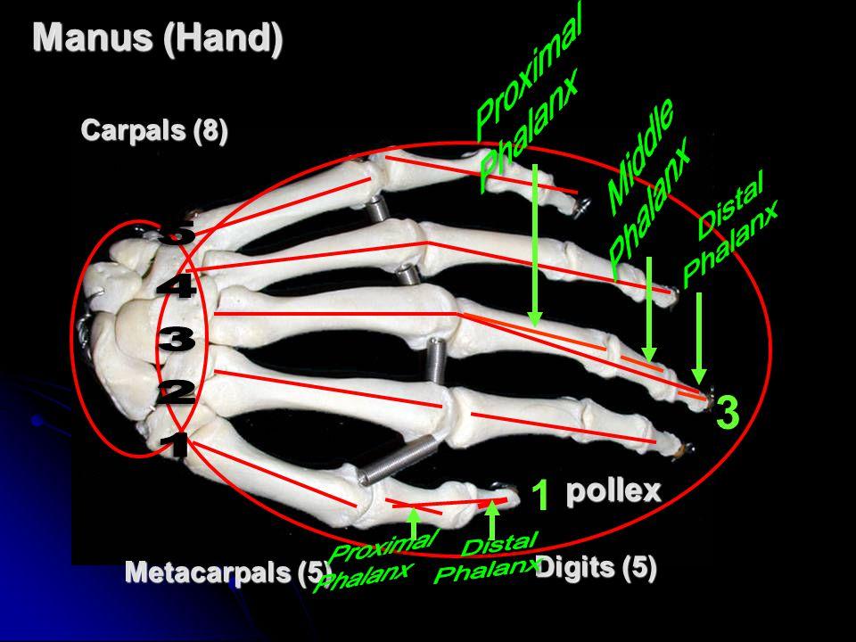 3 54321 1 Manus (Hand) pollex Carpals (8) Digits (5) Metacarpals (5)