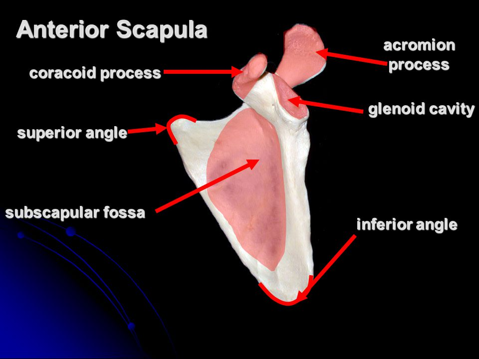 Anterior Scapula acromion process coracoid process glenoid cavity