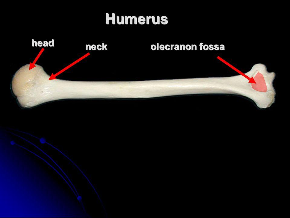 Humerus head neck olecranon fossa