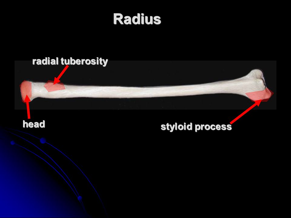 Radius radial tuberosity head styloid process