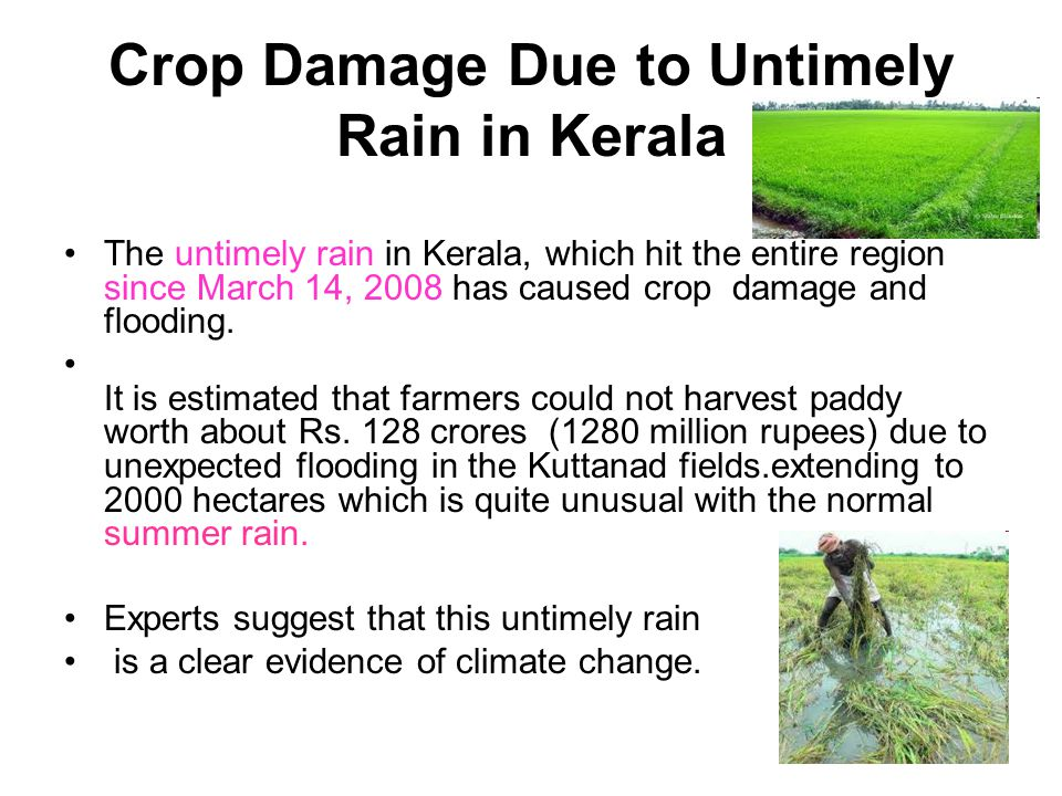 Crop Damage Due to Untimely Rain in Kerala