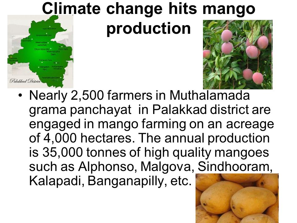 Climate change hits mango production