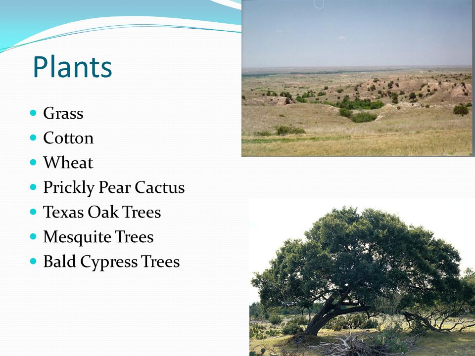 Plants Grass Cotton Wheat Prickly Pear Cactus Texas Oak Trees