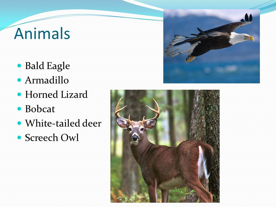 Animals Bald Eagle Armadillo Horned Lizard Bobcat White-tailed deer