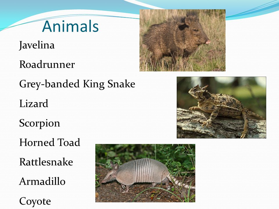 Animals Javelina Roadrunner Grey-banded King Snake Lizard Scorpion