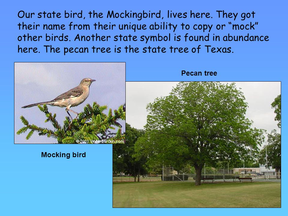 Our state bird, the Mockingbird, lives here