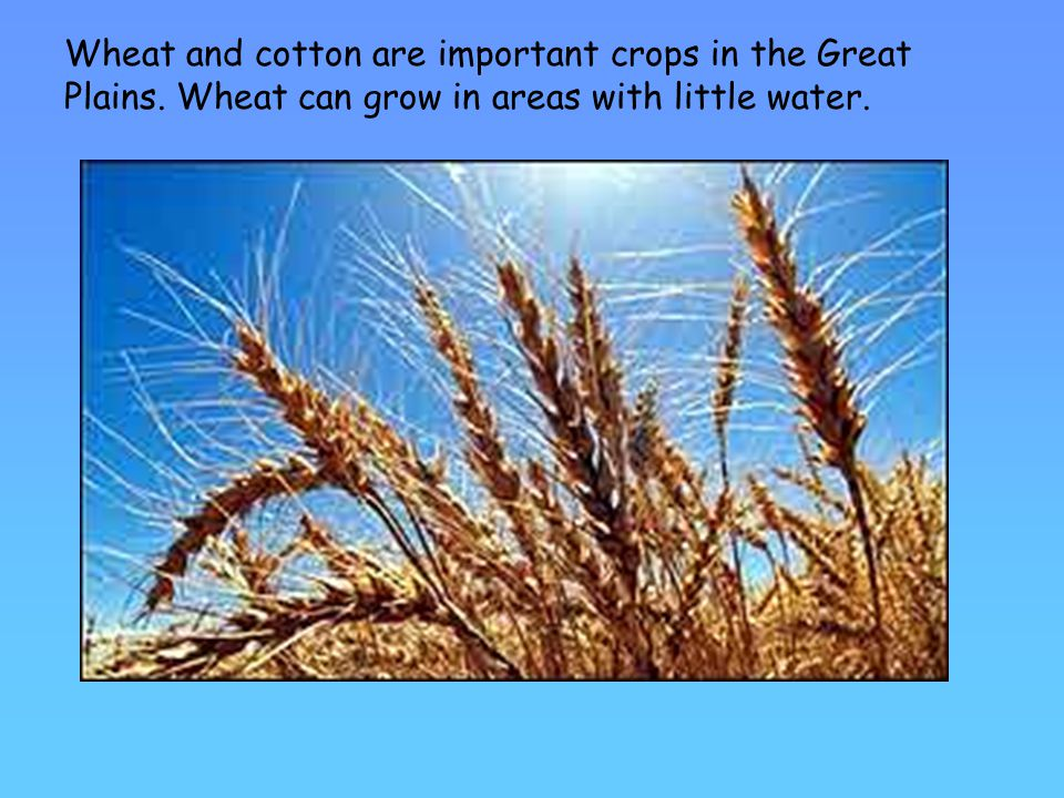 Wheat and cotton are important crops in the Great Plains