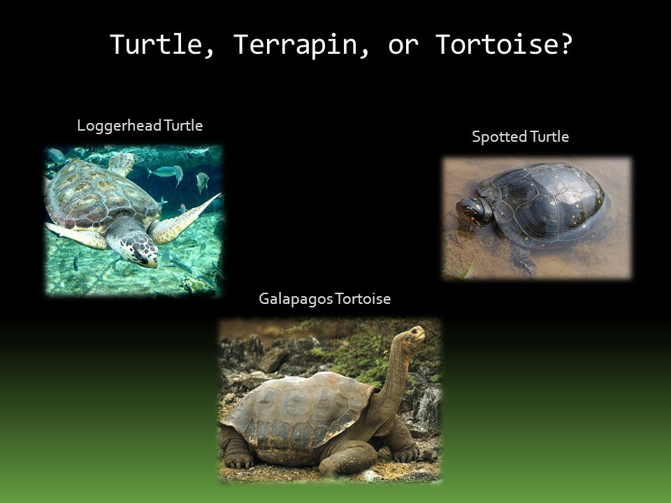 Turtle, Terrapin, or Tortoise