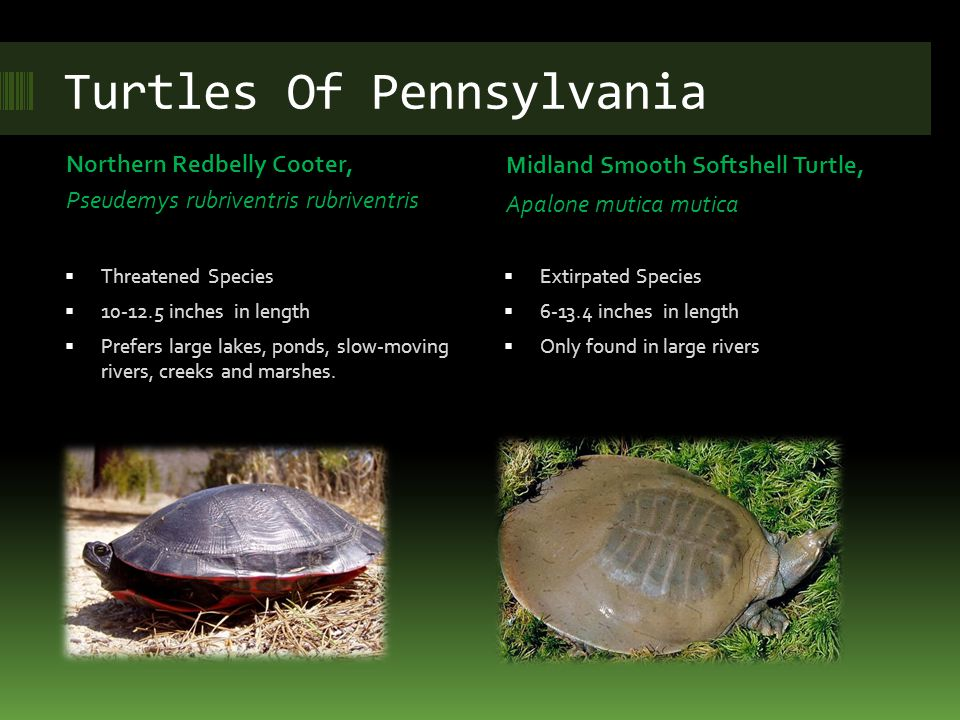 Turtles Of Pennsylvania