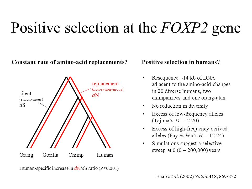 Positive selection at the FOXP2 gene