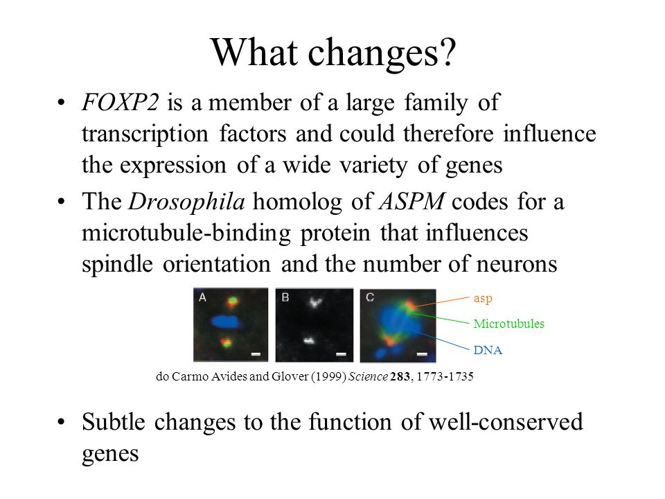 What changes FOXP2 is a member of a large family of transcription factors and could therefore influence the expression of a wide variety of genes.