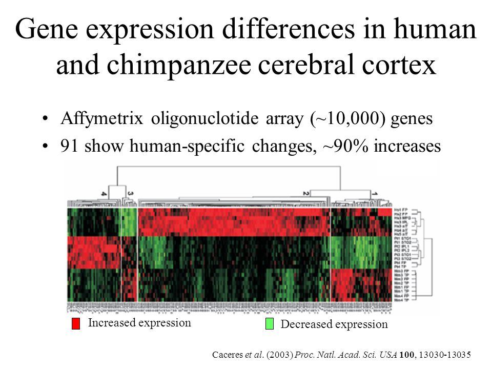 Gene expression differences in human and chimpanzee cerebral cortex