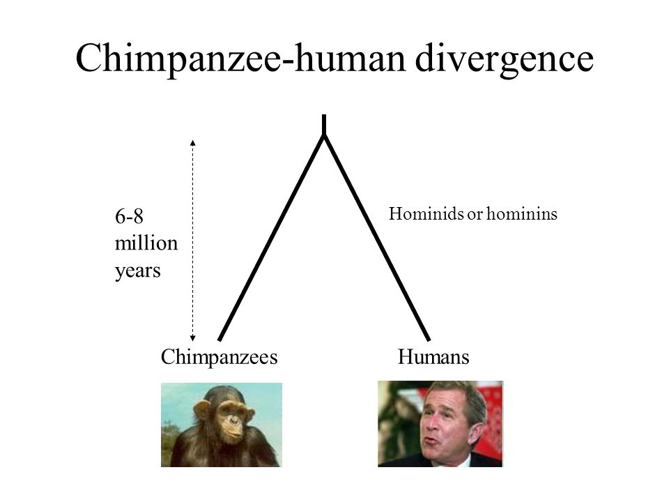Chimpanzee-human divergence