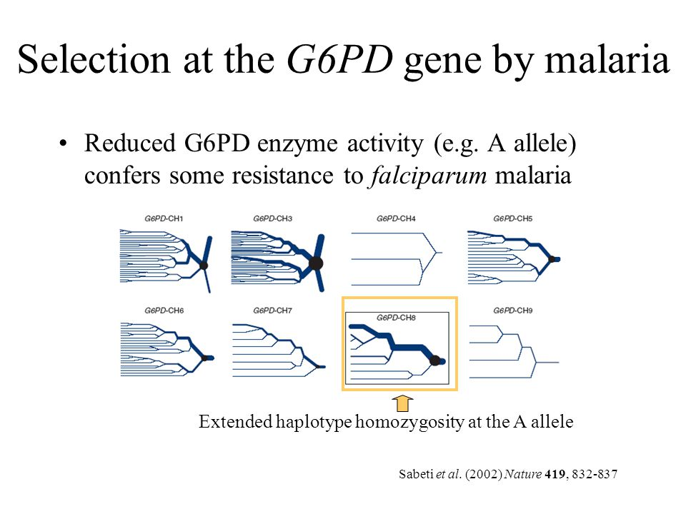 Selection at the G6PD gene by malaria