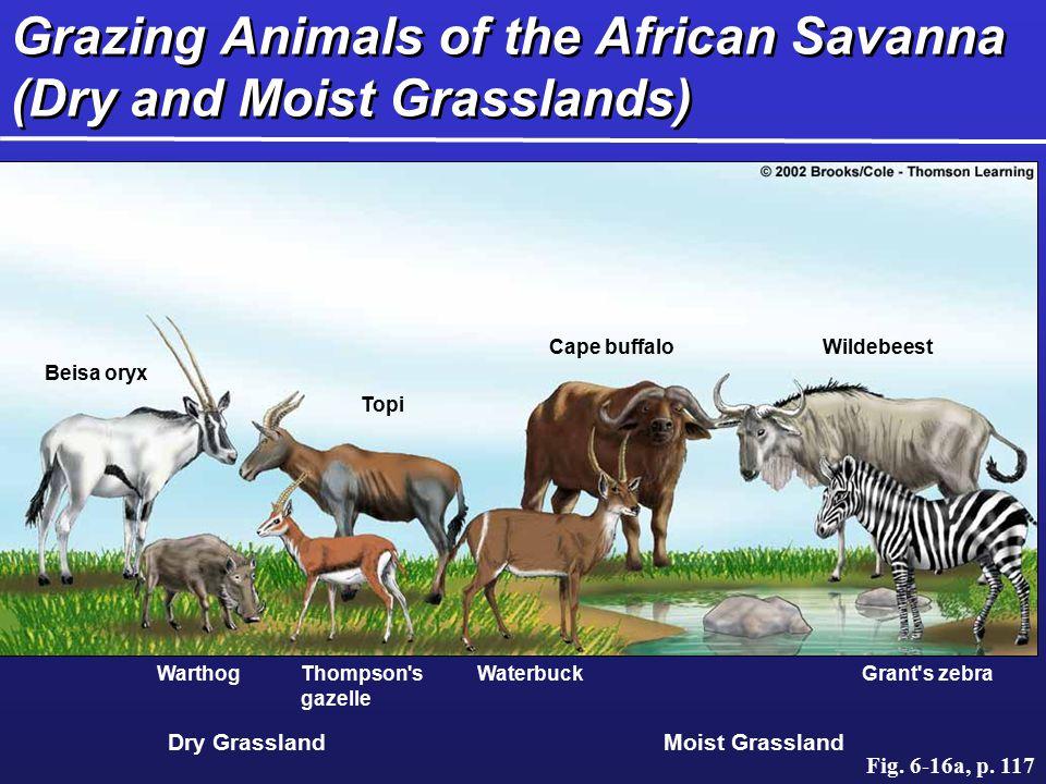 Grazing Animals of the African Savanna (Dry and Moist Grasslands)